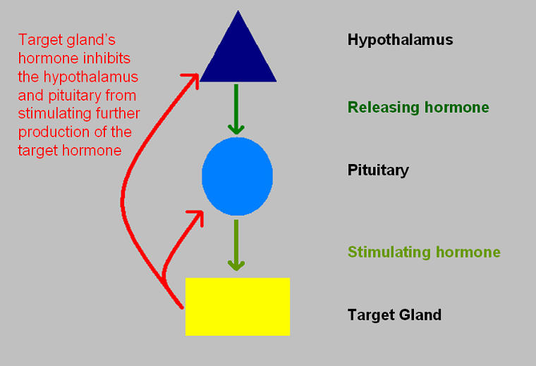 Pituitary Gland on endocrinology of the hypothalamus and pituitary gland