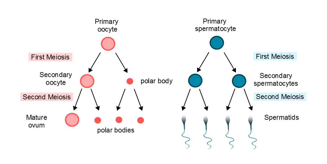 The menstrual cycle diagram of oogenesis and spermatogenesis with regard to polar bodies diagram courtesy of sarah lee ccuart